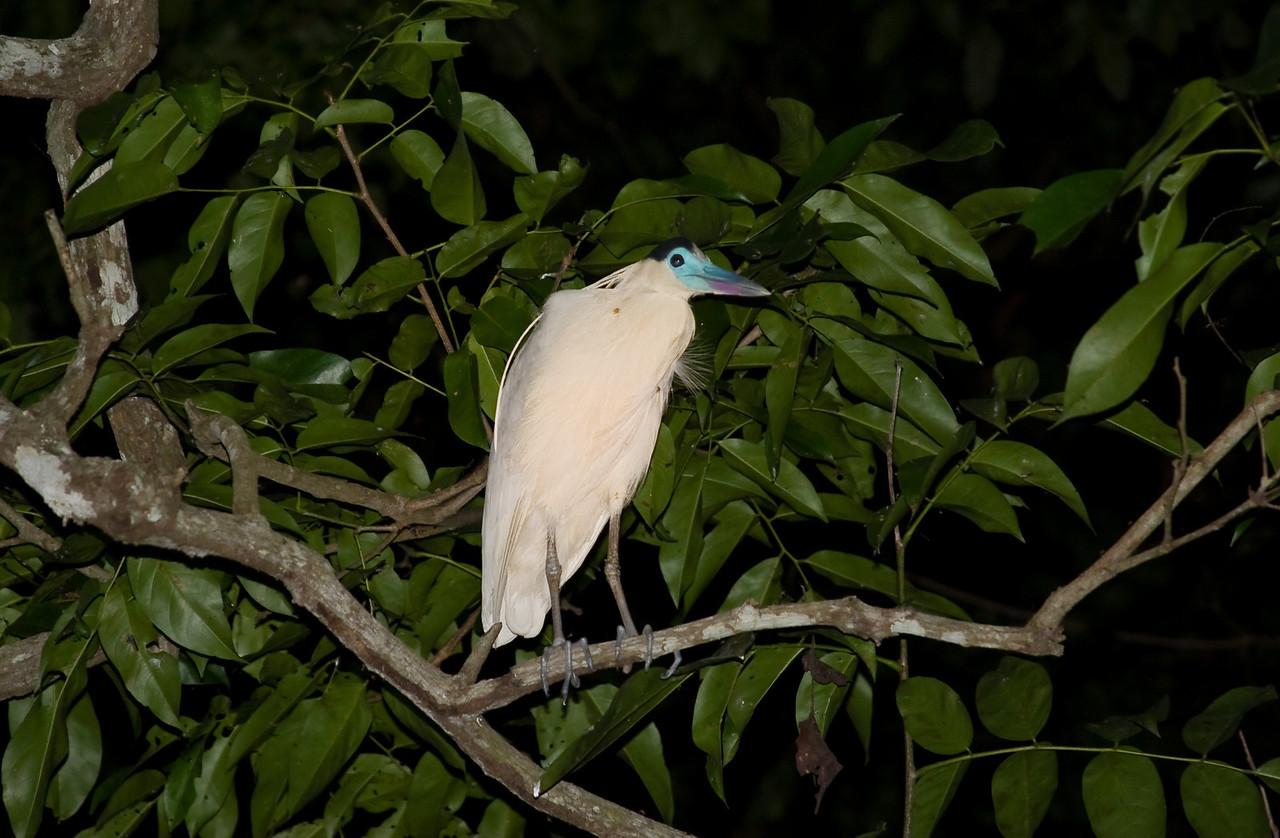 Capped Heron (Pilherodius pileatus).