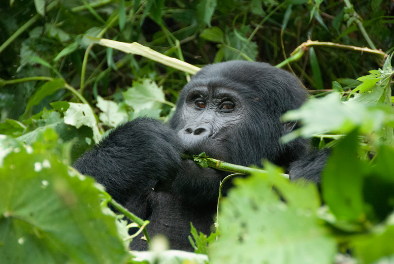 Mountain Gorilla,  Bwindi Impenetrable National Park, Uganda<br /> [after tracking them  for 7 hours with a guide I needed a hip and shoulder replacement]