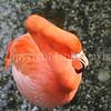 Phoenicopterus ruber – American flamingo 2