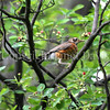 Turdus migratorius – American robin 8