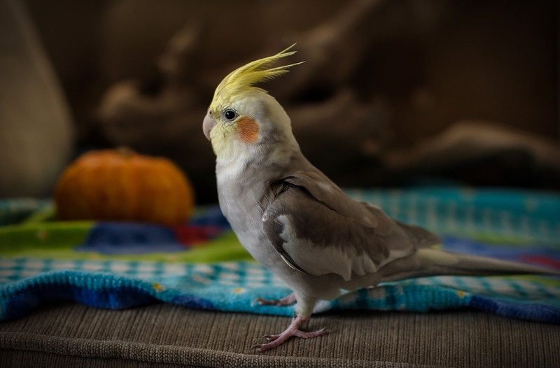 Cockatiel Cuteness