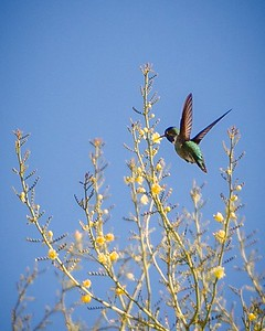 Broad-billed Hummingbird with Palo Verde Blossoms