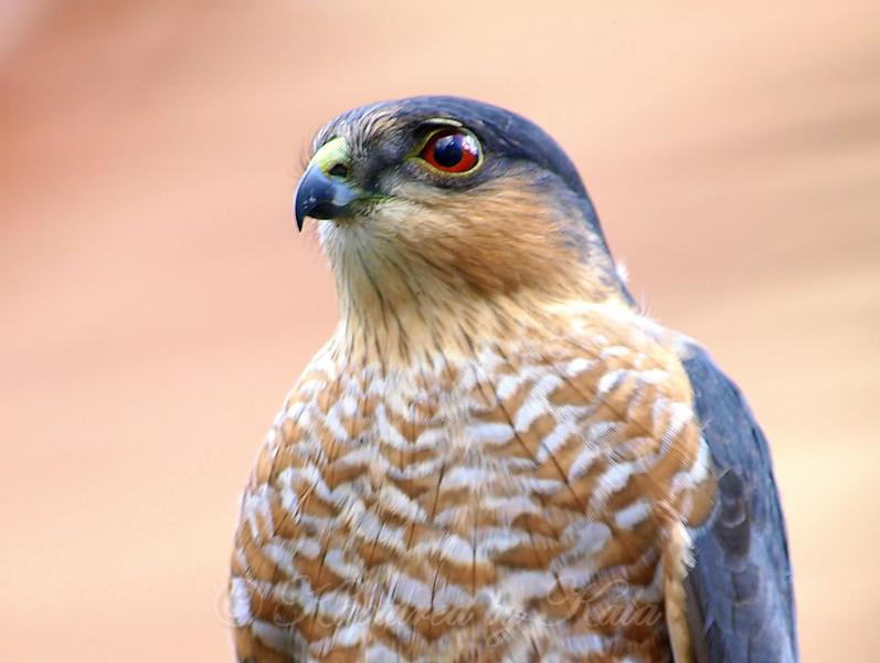 Portrait Of a Sharp-shinned Hawk
