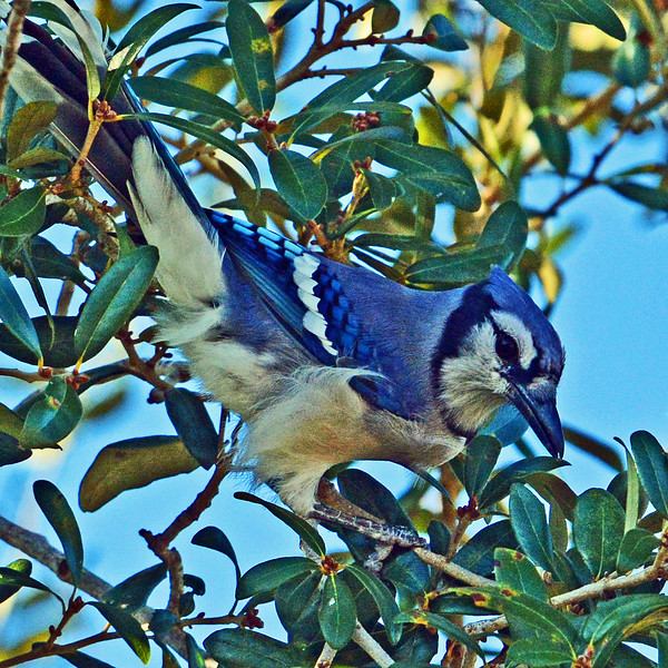 Blue Jay preparing to feed.