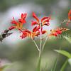 Archilochus colubris – Ruby throated hummingbird on 'Lucifer' crocosmia 2
