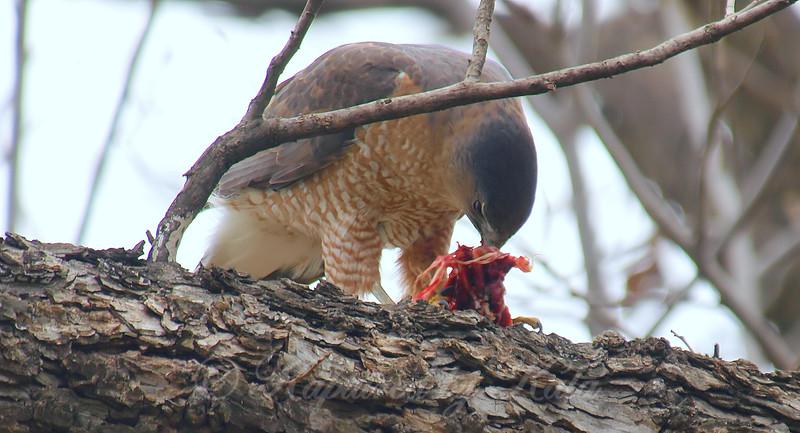 Mama Cooper's Hawk Enjoying Her Gift View 5