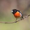 Scarlet Robin, male_0870