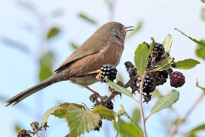 Dartford Warbler - singing on the Blackberries 1