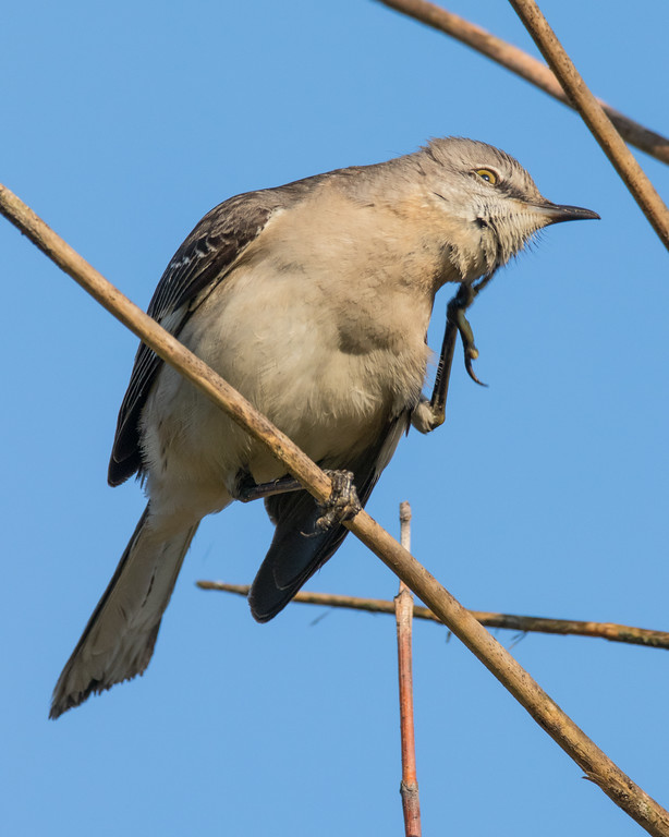 IMAGE: https://photos.smugmug.com/Birds/i-b4BcXkH/0/XL/Mockingbird%2003292017-6841-XL.jpg