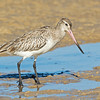 Bar-tailed Godwit, The Broadwater, Gold Coast, QLD.