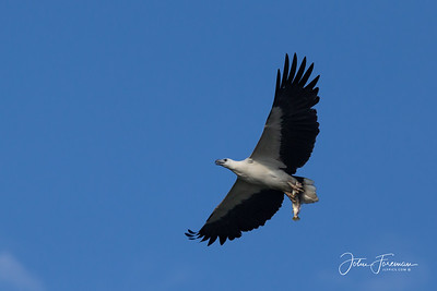 White-bellied Fish Eagle, Goa