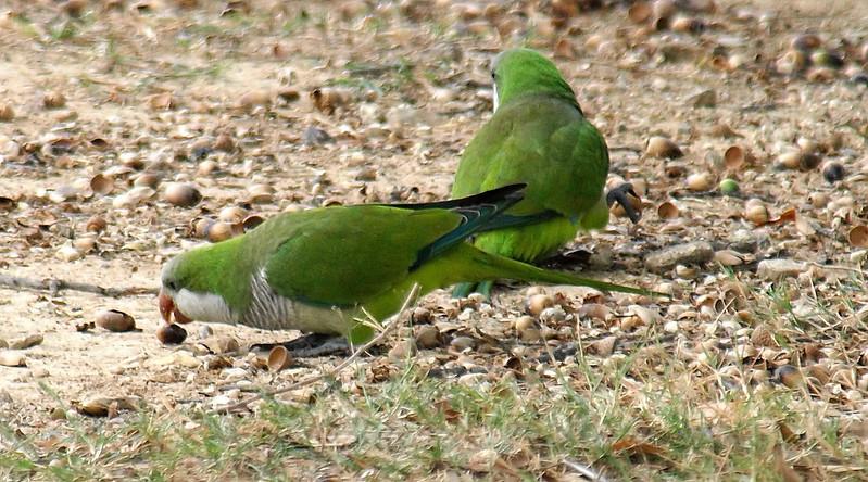 Monk Parakeets Eating Acorns View 1