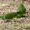 Monk Parakeets Eating Acorns View 1