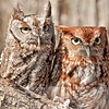 Rust and Gray Eastern Screech Owls