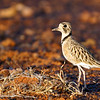 Inland Dotterel at sunset