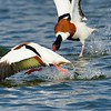 Shelduck Attack - Woolhampton GP