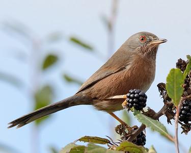 Dartford Warbler - singing on the Blackberries 8
