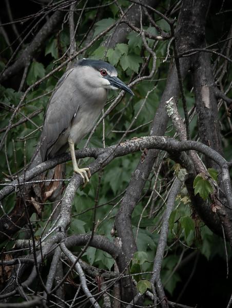 Black-Crowned Night Heron tree