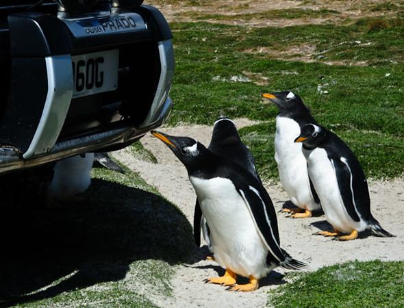 Gentoo Penguins ( Pygoscelis papua)    Falklands