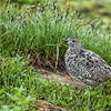 White-tailed Ptarmigan-September