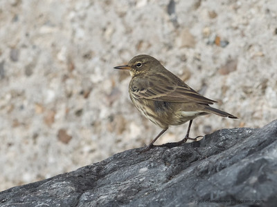 Rock Pipit at Charmouth