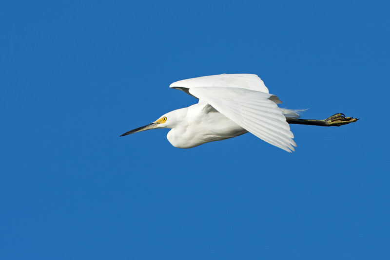 Little Egret (Egretta garzetta), Tallebudgeraba Creek, Burleigh Heads, Queensland.