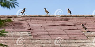 Myna Birds on a Sad Old Roof