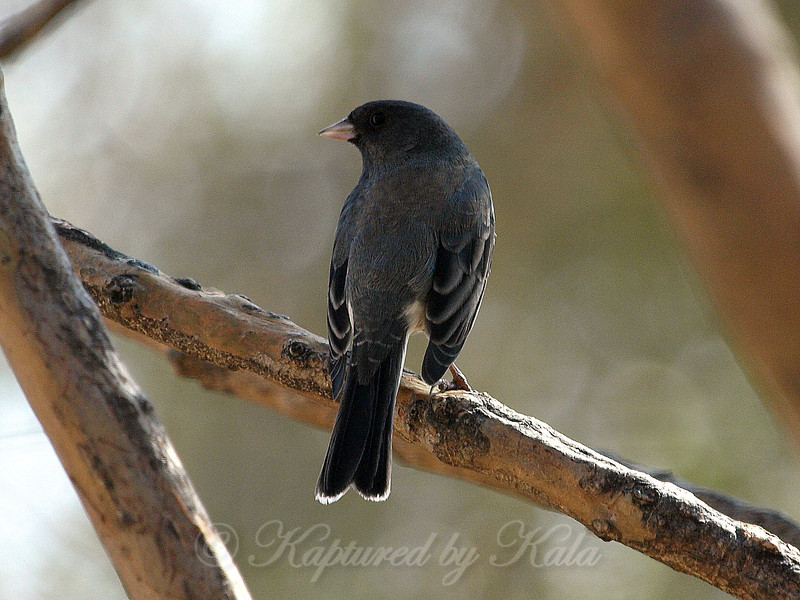 The Juncos Are Gone Now