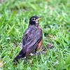 Yard Full of Baby Robins Part 1