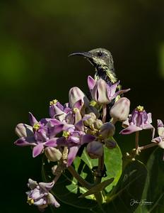 Purple Sunbird, Yala