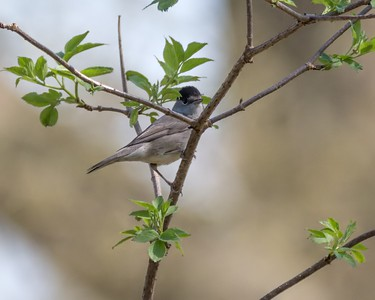 Blackcap at Bowdown Woods