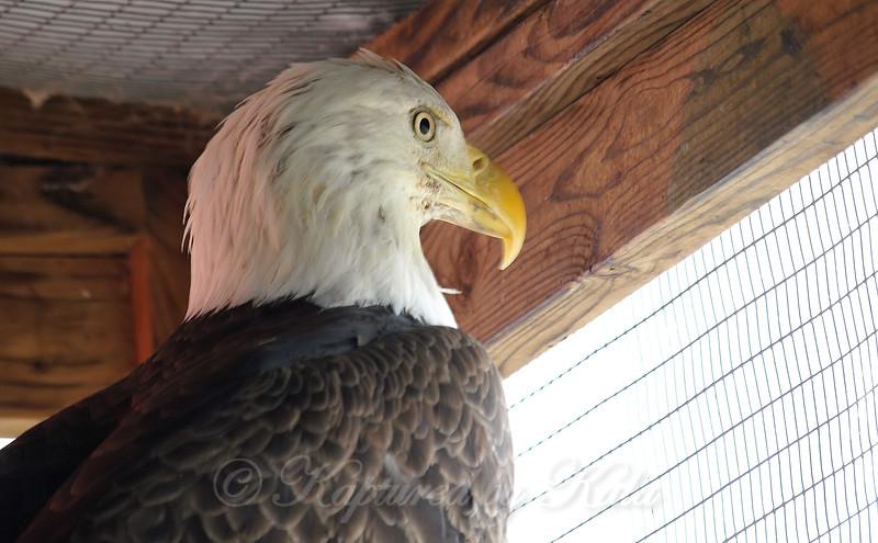 Bobby the Bald Eagle