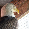 Bobby the Bald Eagle
