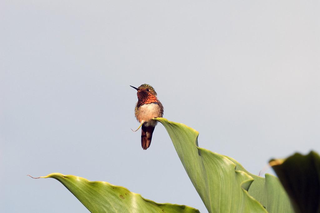Scintillant Hummingbird #1