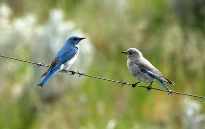 Male & Female Western Mountain Bluebird