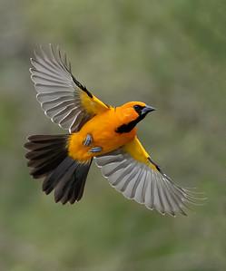 Altamira Oriole in Flight