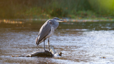 A Grey Heron - River Dunn Hungerford 19th October 2020_