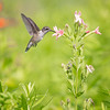 Ruby-throated Hummingbird with Pink Royal Catchfly