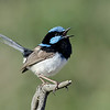 Superb Fairy-wren,Gold Coast.