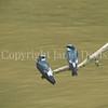Tachycineta albilinea-Mangrove swallow