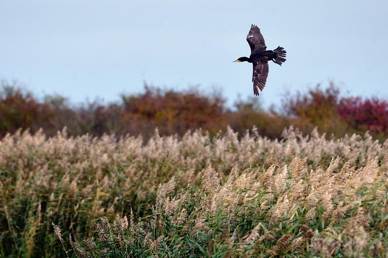 Cormorant in flight at Otmoor 28th October 2016