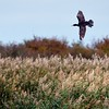 Cormorant in flight at Otmoor 28th October 2016