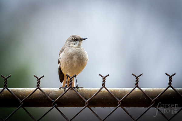 Northern Mockingbird at East Potomac Park