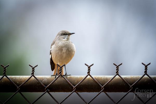 Northern Mockingbird at East Potomac Park