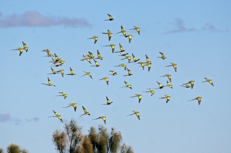 Princess Parrot flock in flight