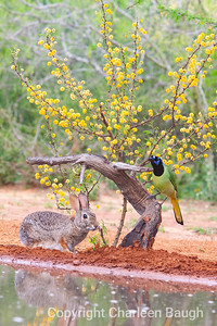 Green Jay & Rabbit