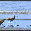 Whimbrel ~ Numenius phaeopus
