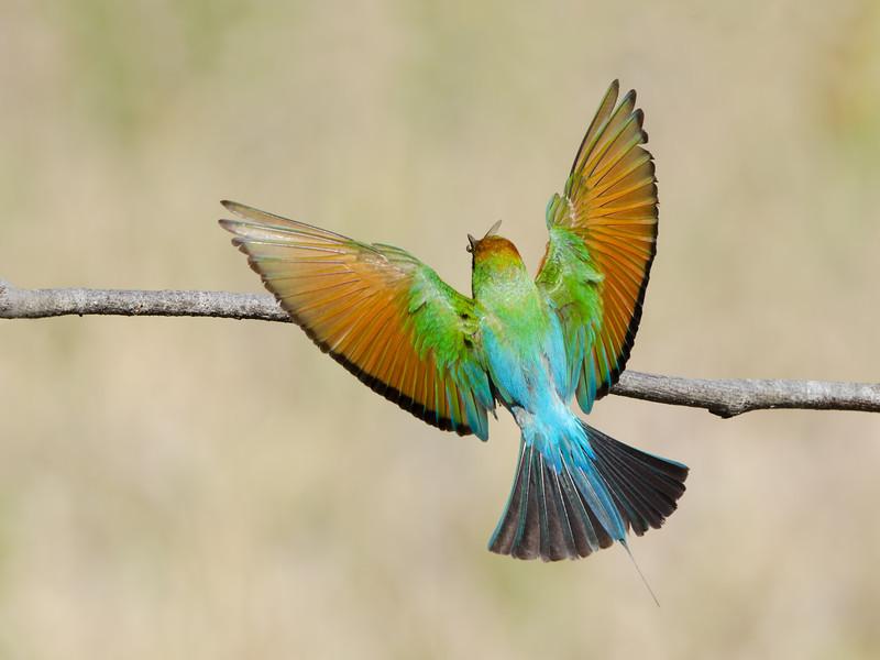 Rainbow Bee-eater Landing, Federation Walk, Gold Coast, Queensland.