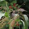 Passer domesticus – House sparrow 5