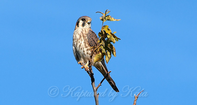 Pretty Little Kestrel View 1